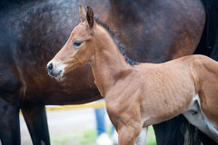 Horse and colt (2-day) walks in paddock Stock Image