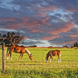 Horse and Colt Grazing. Horses grazing under a beautiful sky in the early morning of eastern Colorado, USA stock photography