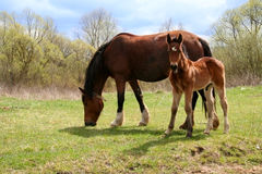 Horse and colt on green meadow Stock Images