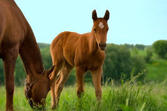 Horse and colt on green meadow Stock Photography