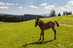 Horse colt on green pastures Royalty Free Stock Photography