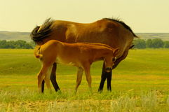 Horse and colt Royalty Free Stock Image