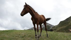 Horse colt in a mountain scenery. stock footage