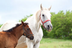 Horse and colt Stock Image