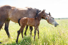 Horse with colt in pasture Royalty Free Stock Image