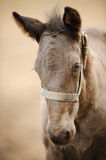 Horse colt profile from front side. Nice brown newborn foal Stock Images