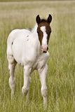 Horse colt Saskatchewan Field Royalty Free Stock Photo