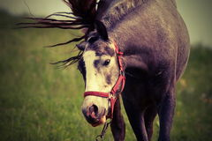 Horse coming towards the camera Royalty Free Stock Images