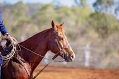 Horse Competing At A Rodeo. Close up of a horse competing in a camp draft competition at an Australian country rodeo stock photo