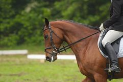 Horse in competition. A beautiful horse during a competition Royalty Free Stock Images