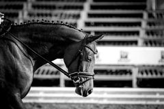 Horse in competition at a tournament in portrait in black and white Stock Photos