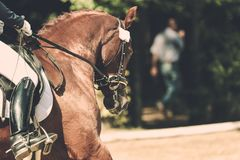 Horse in competition at a tournament in portrait Stock Photo