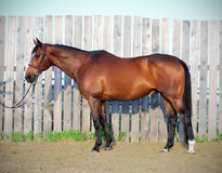 Horse Conformation Photo. A profile photo of a Thoroughbred horse Stock Photography
