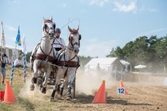 White horses and carriage on finish line at the horse track. Horse contest with carriage on sunny day. This is a regional contest in Covasna County, starting Royalty Free Stock Photo