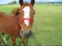 Horse ( with copy space). Attractive horse in a pasture, with copy space stock image