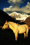 Horse in Cordiliera Huayhuash Stock Image