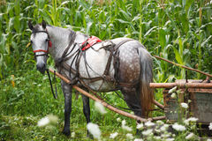 Horse in corn field Royalty Free Stock Photography