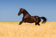 Horse in corn field Stock Image