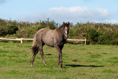 Horse in Cornwall Stock Photography