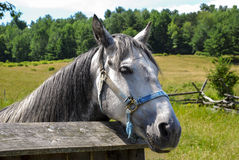 Horse in Corral. Close up of lone horse looking over corral fence on a small farm near field Royalty Free Stock Photography