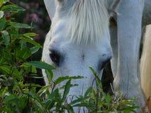 Horse_in_Corvo_island_Azores Royaltyfri Fotografi