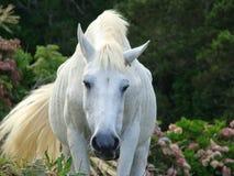 Horse_in_Corvo_island_Azores Royaltyfri Bild