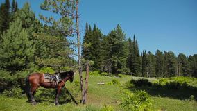The horse cost at the tree. Brown horse cost tied to a tree in a forest glade stock footage