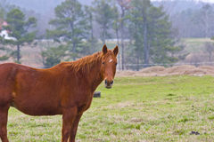Horse in country pasture. A view of a friendly, curious brown horse, standing in a pasture or field with trees and forest behind on a hazy day Royalty Free Stock Image