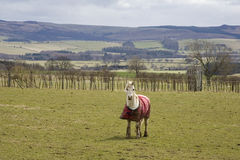 Horse in countryside field Stock Photography