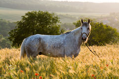 Horse in a countryside field Royalty Free Stock Photo