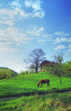 Horse in countryside scene. Horse grazing in field in countryside scene, building in background Royalty Free Stock Photos