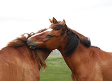 Horse couple Royalty Free Stock Photos