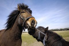 Horse couple stock photos