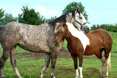 Horse couple Stock Images