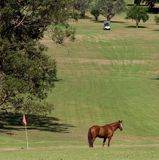Horse on a Course 3. Horse standing n a country golf course, with flag and golf cart in background Stock Photos
