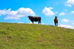 Horse and cow Royalty Free Stock Photos
