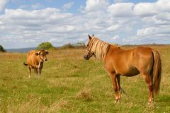 Horse and cow on the field against cloudy sky. Royalty Free Stock Image
