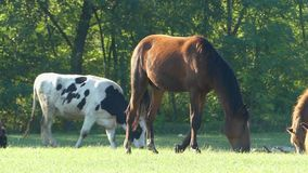 A horse and a cow graze green grass on a lawn in slo-mo stock footage