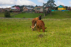 Horse and cow graze in a meadow near the village Royalty Free Stock Photography