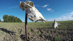 Horse and cow skull on agriculture farm field. Memory concept.  Timelapse 4K stock video