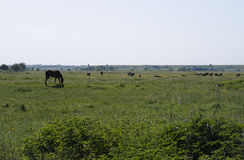 Horse with cows grazing in the marsh Royalty Free Stock Image