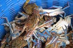 A horse crab for cooking Stock Photos