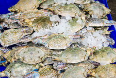 Horse Crab. Stock Photos