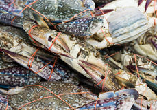 Horse crab. Fresh seafood from the sea Stock Photos