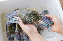 Horse crab in hand Royalty Free Stock Images