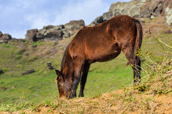 Horse in the crater of Rano Raraku Volcano, Easter Island, Chile Royalty Free Stock Photo