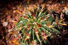 Horse Crippler Cactus Stock Photo