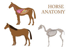 Horse, cross-section and skeleton. Zoology, anatomy of horse, cross-section and skeleton Stock Image