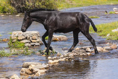Horse crossing river Stock Images
