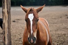 Horse. Cute ginger horse in the paddock royalty free stock image
